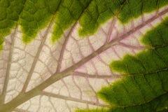 Leaf av coleusen Arkivfoton