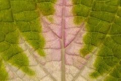 Leaf av coleusen Royaltyfria Bilder