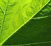 Leaf av cymbling Royaltyfri Foto