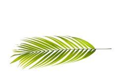 Leaf av palmträdet arkivbilder