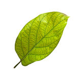 Leaf of avocado tree Royalty Free Stock Photos