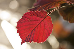 Leaf in back-light. Leaf in backlight with reflections Royalty Free Stock Images