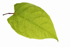 Leaf in the back light. An exempt leaf in the back light Royalty Free Stock Photo