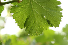 Leaf background. Suspended water droplets on the leaves on the trees Royalty Free Stock Images