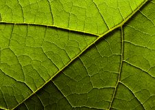 Leaf background. In botany, a leaf is an above-ground plant organ specialized for photosynthesis. For this purpose, a leaf is typically flat (laminar) and thin Stock Photography