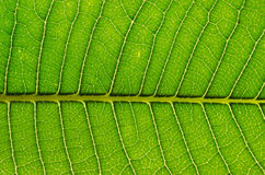 Leaf background Royalty Free Stock Photography