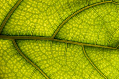 Leaf Background. The surface of the leaf of the tree Stock Photo
