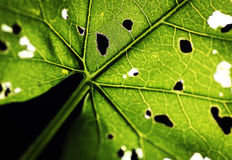 Leaf background Royalty Free Stock Images