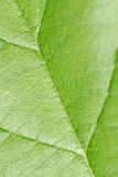 Leaf Background. A background with a macro view of a leaf structure Stock Photography