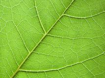 Leaf background. Close-up green leaf texture royalty free stock photo