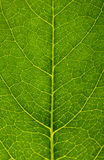 Leaf background. Green leaf texture close up Royalty Free Stock Photos