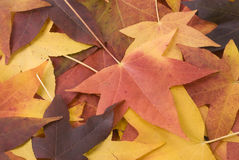 Leaf Background. Closeup of a collection of maple leaves suitable to be used as a background Royalty Free Stock Image