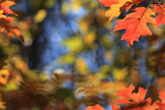 Leaf background in autumn. Colourful maple leaves hanging from the tree in autumn Royalty Free Stock Image