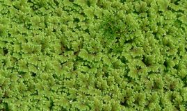 Leaf background - azolla fern. Small water fern, growing on rice fields Stock Photos