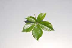 Leaf on background Stock Photography