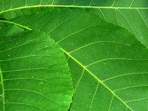 Leaf Background. Background of bright green leaves in Wisconsin Stock Photo