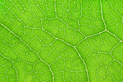 Leaf background. Close-up and detail of leaf background Royalty Free Stock Photos