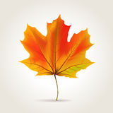 Leaf background. Colorful autumn realistic orange leaf, vector illustration Royalty Free Stock Photography