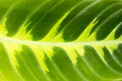 Green and yellow Leaf - Background Royalty Free Stock Image