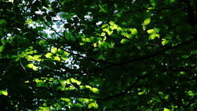 Leaf background: forest, sunbeams and shade Royalty Free Stock Photography