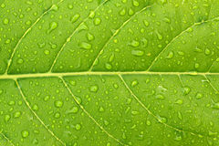 Leaf background. Background leaves with drops of water Royalty Free Stock Images