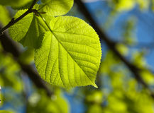 Leaf In Backlit Royalty Free Stock Photo