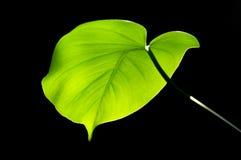 Leaf backlit stock image