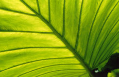 Leaf, backlit. Close up of a large green leaf in a Hong Kong jungle, backlit by late afternoon sunshine Stock Photo