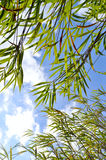 Leaf bamboo blue sky Stock Images