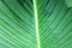 leaf banana Royalty Free Stock Image