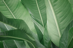 Leaf of banana Stock Photography