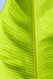 Leaf banana palm Royalty Free Stock Photos