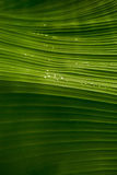 Leaf. Banana palm leaf with drops of water on it Stock Photos