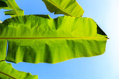 Leaf of a Banana palm tree Royalty Free Stock Images