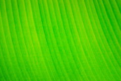 Leaf banana palms Stock Photo