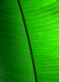 Leaf of Banana Plant. Banana is the common name for a fruit and also the herbaceous plants of the genus Musa which produce this commonly eaten fruit Royalty Free Stock Image