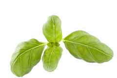 Leaf basil Royalty Free Stock Photos