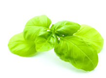 Leaf of basil isolated Stock Photo