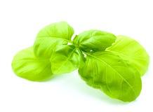 Leaf of basil isolated Stock Photo