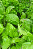 Leaf basil usefull as spice in the kitchen Stock Image
