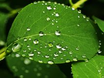 Leaf beaded with water drops. Green dew nature rain wet closeup macro natural vein fresh beads garden flora plant morning background lotus reflecting structure royalty free stock photo