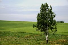 Leaf-bearing tree. Russia. The Siberian open space. Leaf-bearing tree on field with green grass. Somewhere in the central Siberia. The photo is made from the Stock Photography