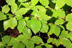 Leaf beech. (Fagus sylvatica) in forest Royalty Free Stock Photo