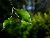Leaf of beech Royalty Free Stock Image