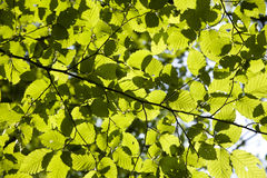 Leaf of the beech in the light Stock Photos