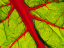 Leaf beet aka Chard leaf detail, back lit. Stock Photography
