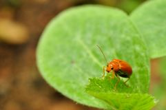 Leaf beetle Stock Photo