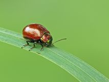 Leaf Beetle. Brown Leaf Beetle (Chrysolina polita) on Grass stock photography