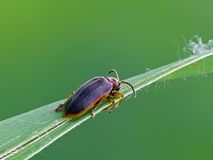 Leaf Beetle. Dark Leaf Beetle (Galerucella nymphaeae) on Grass royalty free stock image