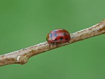 Leaf beetle. One of leaf beetle (Chrysomelidae) - Gonioctena decemnotata stock images